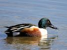 Northern Shoveler - Hogarth Hide (Slimbridge March 2017)